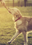 Dog with stick Stock Photography