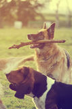 Dog with stick Royalty Free Stock Photography