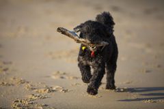 Dog with stick on beach Stock Photos