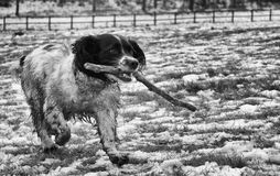 Dog with stick. A black and white image of a playful dog running in the snow with a stick in its mouth Royalty Free Stock Photo
