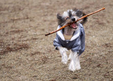 Dog stick carry. Playful cheerful funny little dog (chinese crested) dressed in light blue overall running with wooden stick playing stock photography