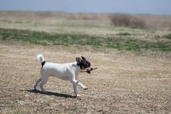 Dog with stick in the country. Rat Terrier puppy runs with stick in mouth royalty free stock image