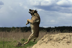 Dog With Stick In Jump. German shepherd caught a stick in a jump at Stock Photos