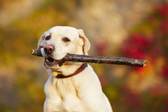 Dog with stick. Labrador retriever with wooden stick in autumn nature Royalty Free Stock Photo