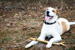 Dog with stick lying in wood Royalty Free Stock Photo