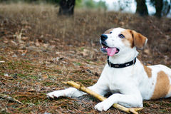 Dog with stick lying in wood Stock Image
