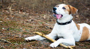 Dog with stick lying in wood Stock Photography
