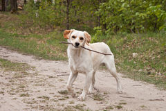 Dog with stick Stock Images
