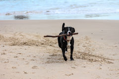 Dog with stick running on beach. Black and white pet dog with stick in mouth running along beach Royalty Free Stock Photo