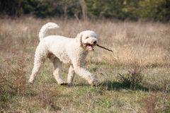 Dog with a stick. The dog take a walk with a stick in his mouth Royalty Free Stock Image