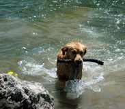 Dog with stick in water Stock Photography