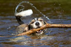 Dog with a stick in the water Royalty Free Stock Photos