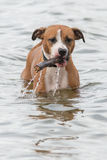 Dog with stick in water Stock Image