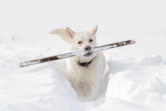A dog with a stick Royalty Free Stock Image