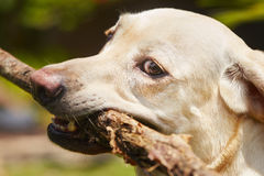 Dog with stick Royalty Free Stock Photos