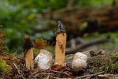 Dog stinkhorn fungus (Mutinus caninus) Stock Photo