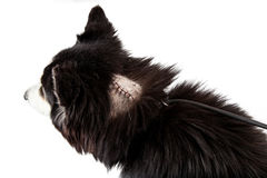 Dog with stitches on a wound from surgery Stock Photography