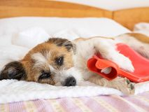 Dog with stomachache, sick dog royalty free stock image