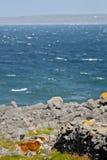 Dog walking around rocks and vegetation on Doolin beach, county Clare, Ireland Royalty Free Stock Image