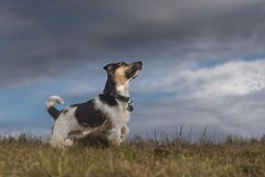 Dog and storm clouds - jack russell terrier. Somber mood on a meadow in front of a dark sky stock photos