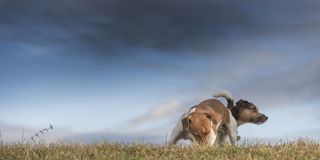 Dog and storm clouds - jack russell terrier. Somber mood on a meadow in front of a dark sky stock images