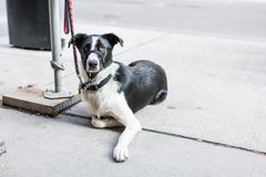 Dog strapped at street side Stock Photo