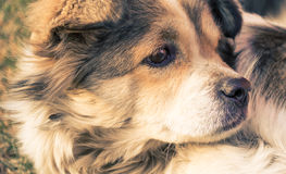 Dog face close-up. A stray dog gazing into the distance, this photo was taken in March 9, 2014 Royalty Free Stock Photography