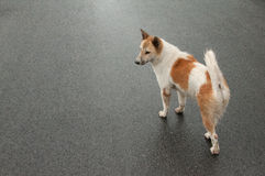 Dog on street Royalty Free Stock Photo