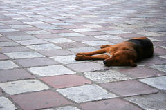 Dog on street. Lazy dog laying on the causeway Stock Photography