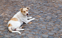 A dog in a street with a chain collar. A white sad dog with  few light brown spots and light brown eyes, lying on a paved road and looking towards the camera Royalty Free Stock Photography