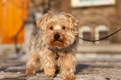 Dog on the street in Netherlands. Dog on the street in winter. Focus on dog Royalty Free Stock Images