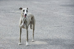 Dog on the street Stock Photography