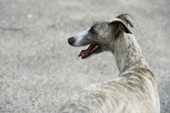 Dog on the street. Skinny dog standing in the street Royalty Free Stock Images