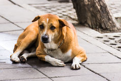 A dog. On the street somewhere in Bangkok, Thailand Royalty Free Stock Image