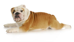 Dog stretched out. Laying down - english bulldog - 2 years old Royalty Free Stock Photo