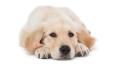 Dog stretched out looking at camera Royalty Free Stock Photo
