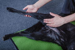 Dog stretching Royalty Free Stock Photos