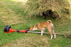 Dog with Strimmer Royalty Free Stock Images