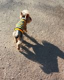 Dog in striped clothes Stock Photo