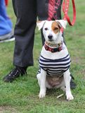 A dog in striped clothes - a pirate Stock Images