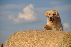 Dog in the strow Royalty Free Stock Photos