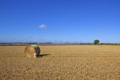 Dog in a stubble field. A brown and white pet dog beside a round bale in a golden stubble field under a blue sky in late summer Stock Image