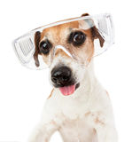 Dog stuck out her tongue teasing in transparent glasses. Funny small dog portrait teasing showing tongue. Rowdy indulge in fun. Transparent construction royalty free stock images