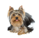 Dog stuck tongue out a little Stock Images