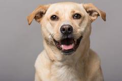 Dog Studio Portrait stock images