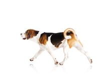 Dog in studio Royalty Free Stock Photo
