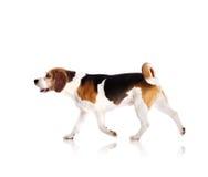 Dog in studio Stock Images