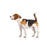 Dog in studio Royalty Free Stock Image