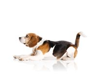 Dog in studio Royalty Free Stock Photography