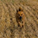 Dog on stunnle. Small terrier dog running on stubble field Stock Photos